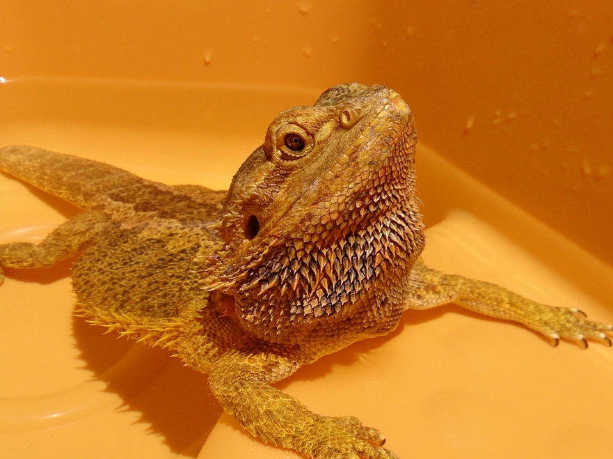 how to tell if your bearded dragon is in brumation
