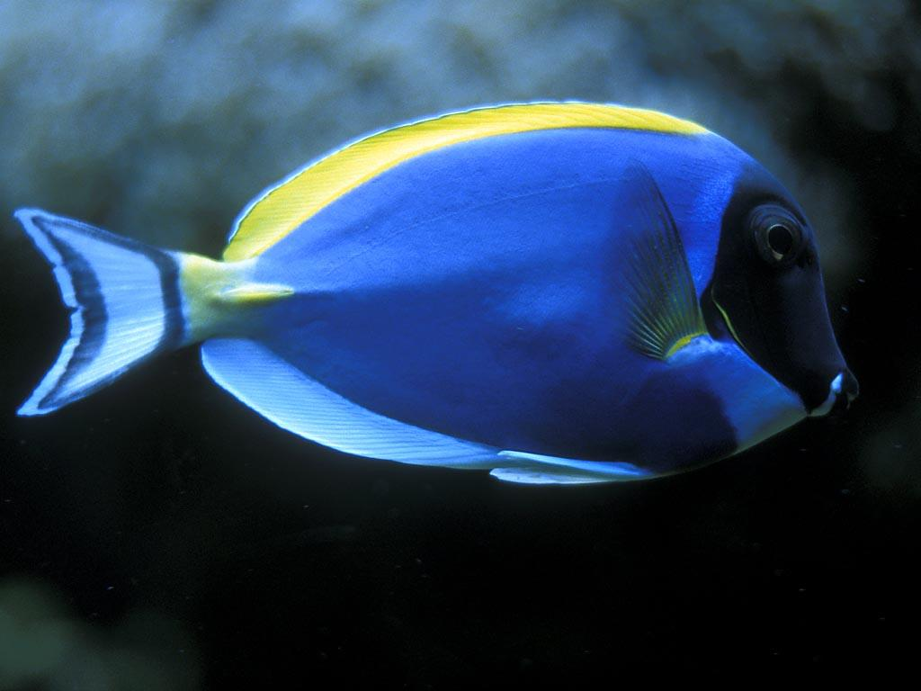 beautiful wallpapers beautiful fish wallpaper