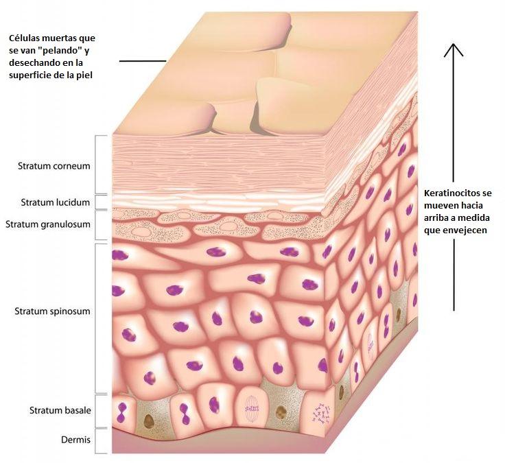 Estetica Real: El Estrato Córneo y la Limpieza Diaria de la Piel