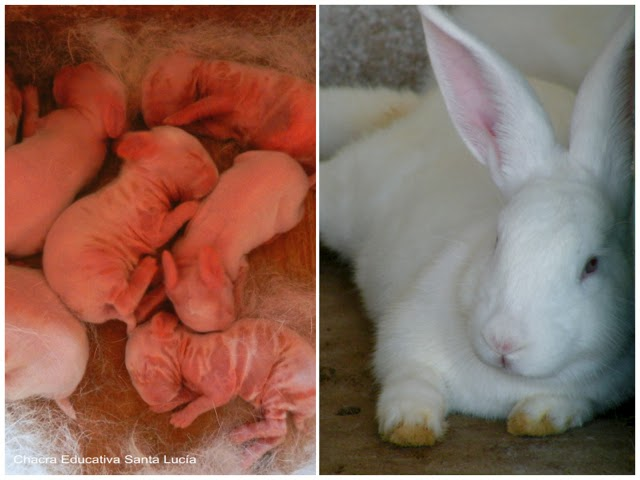 Crías de conejo - Chacra Educativa Santa Lucía