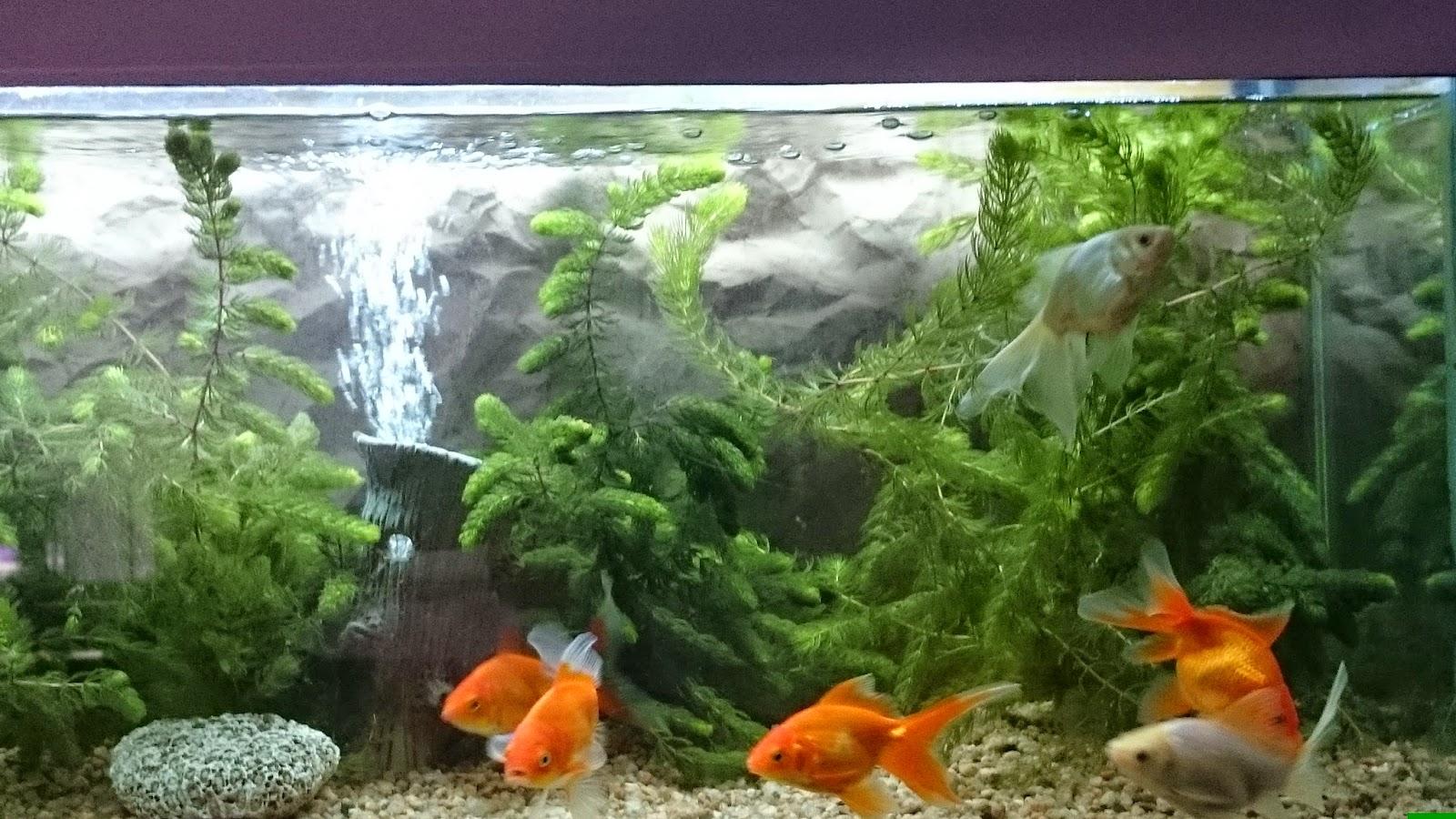 Acuarios decorpez nuestros peces de agua fria for Cuidados acuario agua fria