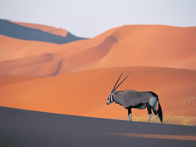 Oryx Antelope Deer