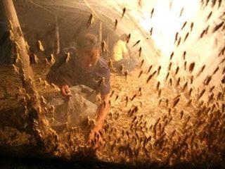 เกษตรกรชาวจีนชานกรุงปักกิ่งประสบความสำเร็จในการทำฟาร์มเพาะเลี้ยงตั๊กแตน
