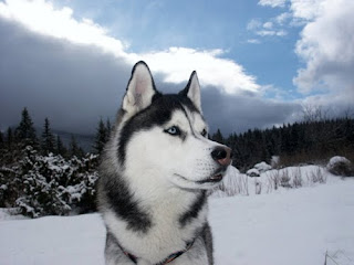 Siberian Husky dog breed in the snow image download puppy images