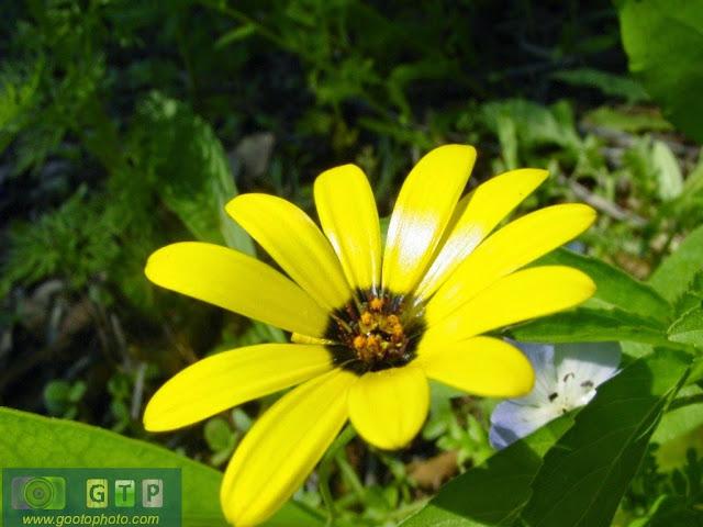 صور ورد اصفر وردة صفراء بين الخضار