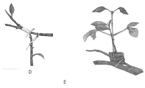 Proses Pembibitan dengan teknik penyusuan, A. Pengupasan batang atas dan batang bawah, B. Penyatuan batang atas dan batang bawah, C. Pengikatan batang atas dan batang bawah, D. Pengikatan telah selesai dan perlu diberi satu ikatan lagi untuk menguatkan, E. Hasil teknik penyusuan duduk