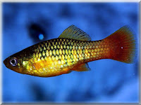 Variegated Platy Fish Pictures