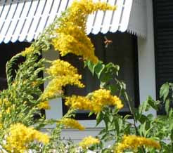 goldenrod, blooming, Texas, October, bee plant