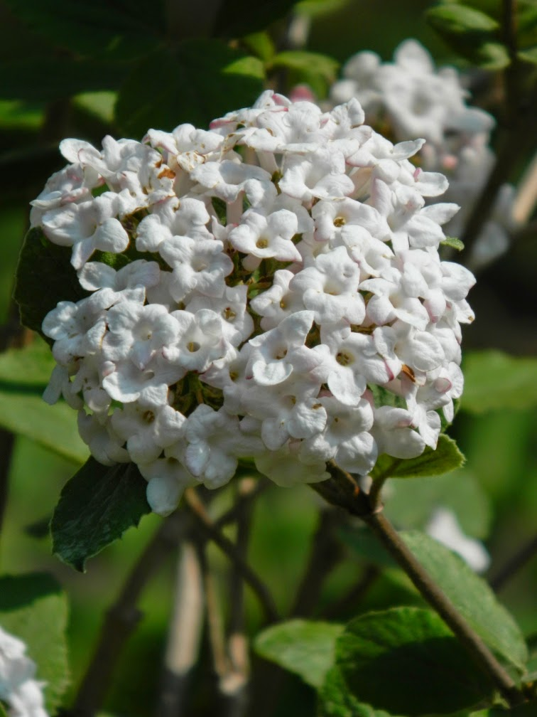 Viburnum carlesii Koreanspice viburnum James Gardens Etobicoke by garden muses-not another Toronto gardening blog