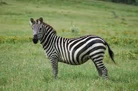 Arti Mimpi Zebra - www.ramalanmimpi.com