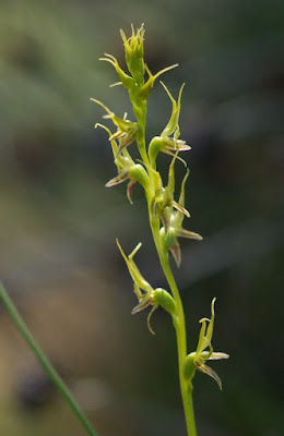Little Laughing Leek Orchid (Prasophyllum gracile)