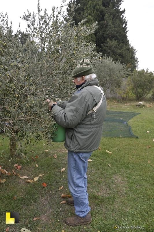 Blachier Marcel cueillette des olives photo blachier pascal