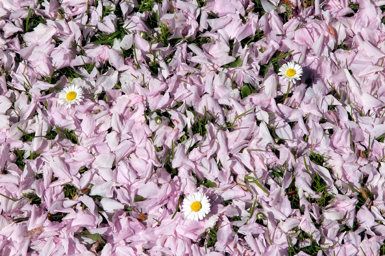 pink petals and daisies