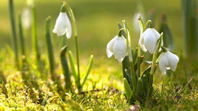 Snowdrop Flower HD Wallpaper