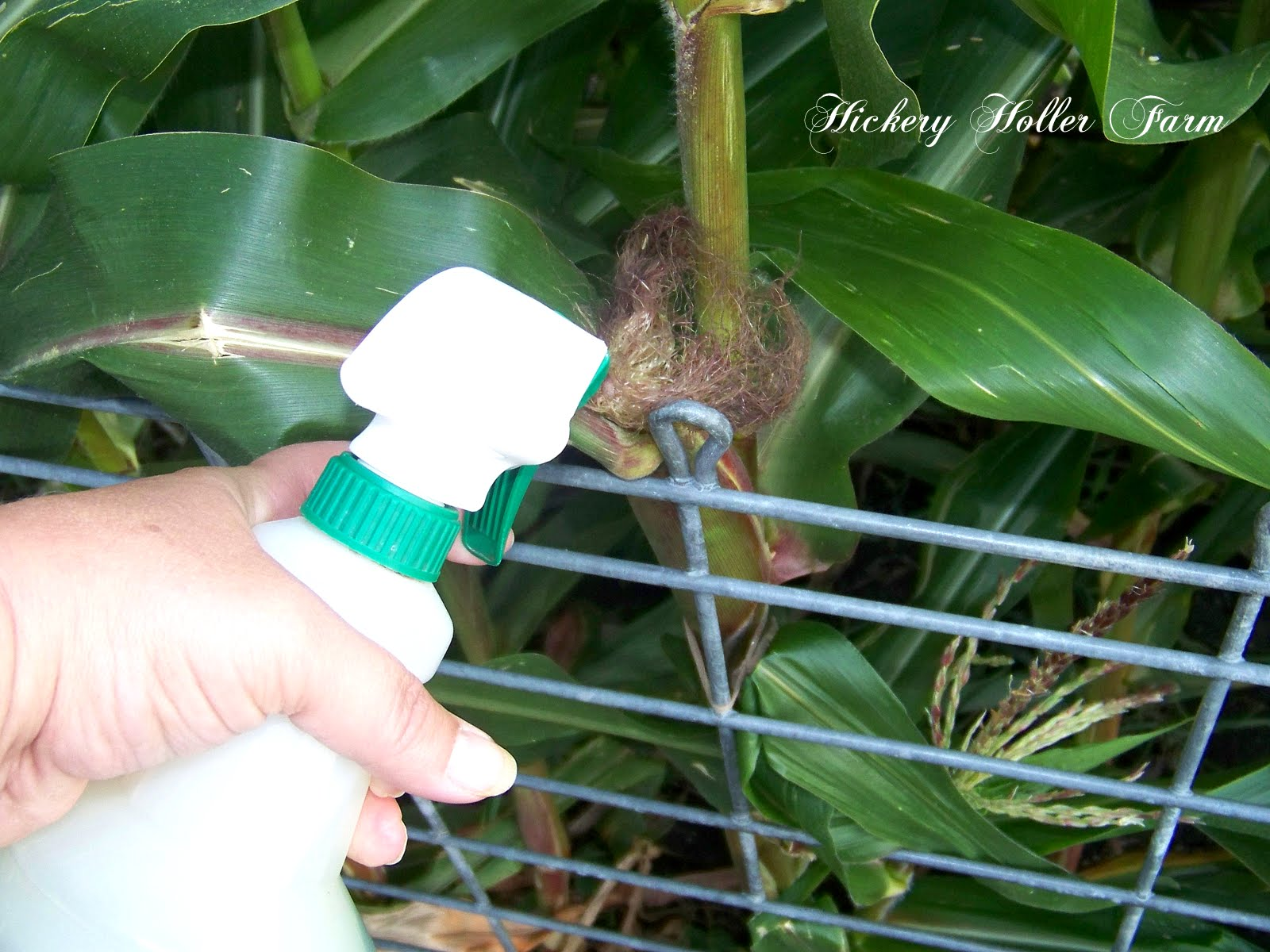 Hickery Holler Farm: Preventing Corn Ear Worms