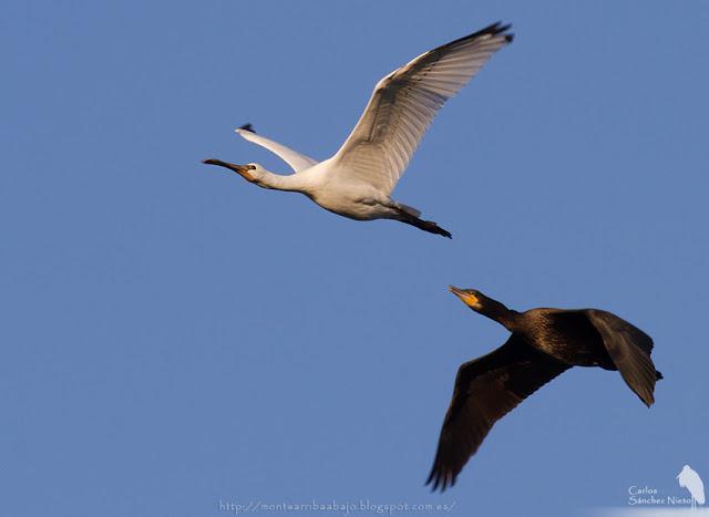 Espátula común volando junto a un cormorán.