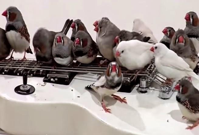 The Zebra Finch Guitarists