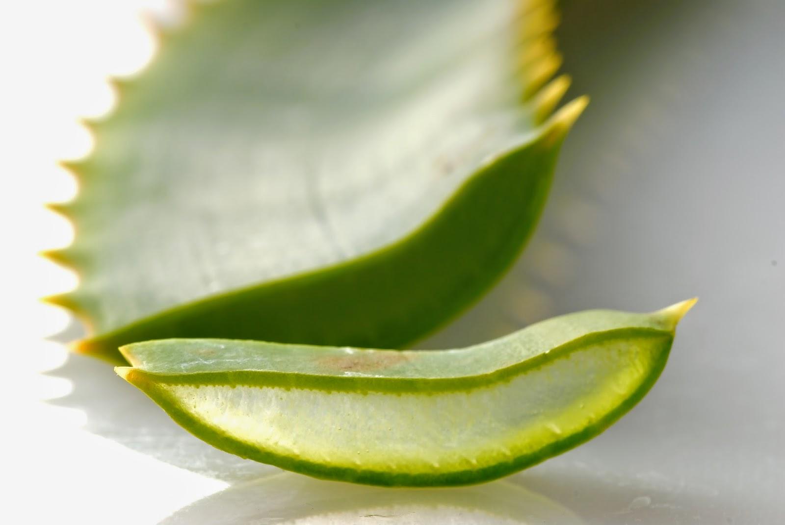 L'uso dell'Aloe per proprietà curative