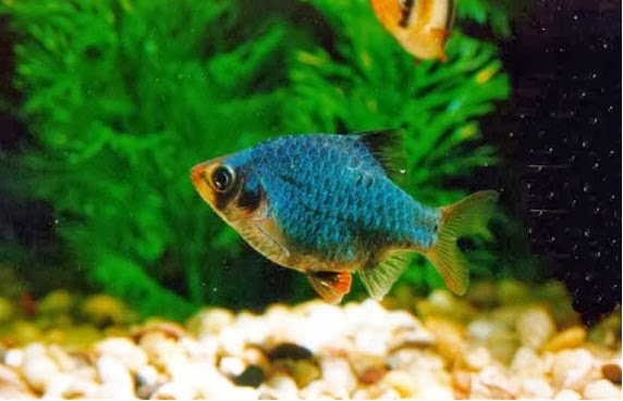 Green Tiger Fish - Puntius Tetrazona TROPICAL FISH