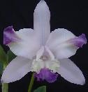 C. int. caerulea flâmea