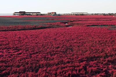 الشاطئ الأحمر الذي يقع علي نهر panjin-red-beach-112