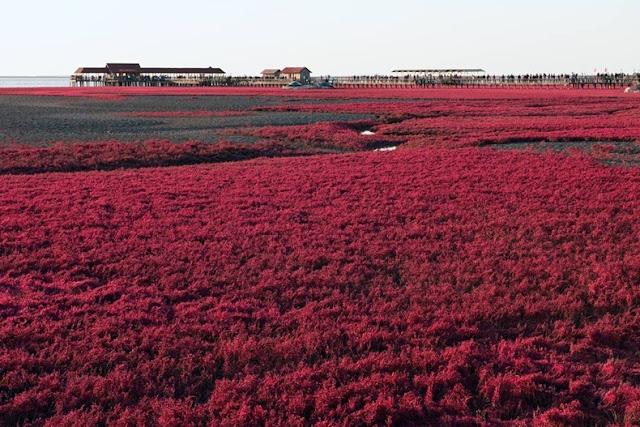 panjin red beach 112 من أجمل شواطئ العالم '' الشاطئ الأحمر '' في مدينة بانجين بالصين