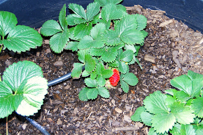 First Strawberry on Alejandro Farms