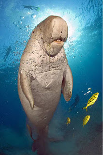Dugong swimming with fish