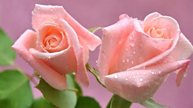Rosas gotas de agua