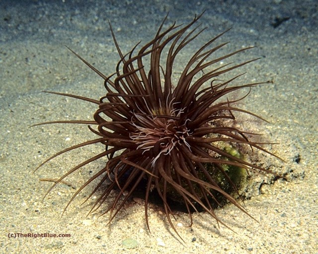 Dark-colored Cerianthid, Hawaii