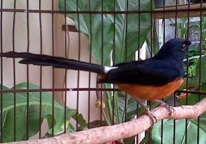 Daftar Harga Burung Murai Batu Terbaru Februari 2014 Terlengkap