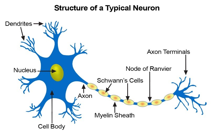 Identifying subatomic particles with neural networks infinite musings the receiving neuron fires and transmits the signal to the next neuron below are diagrams of a single neuron and a network of connected neurons ccuart Choice Image