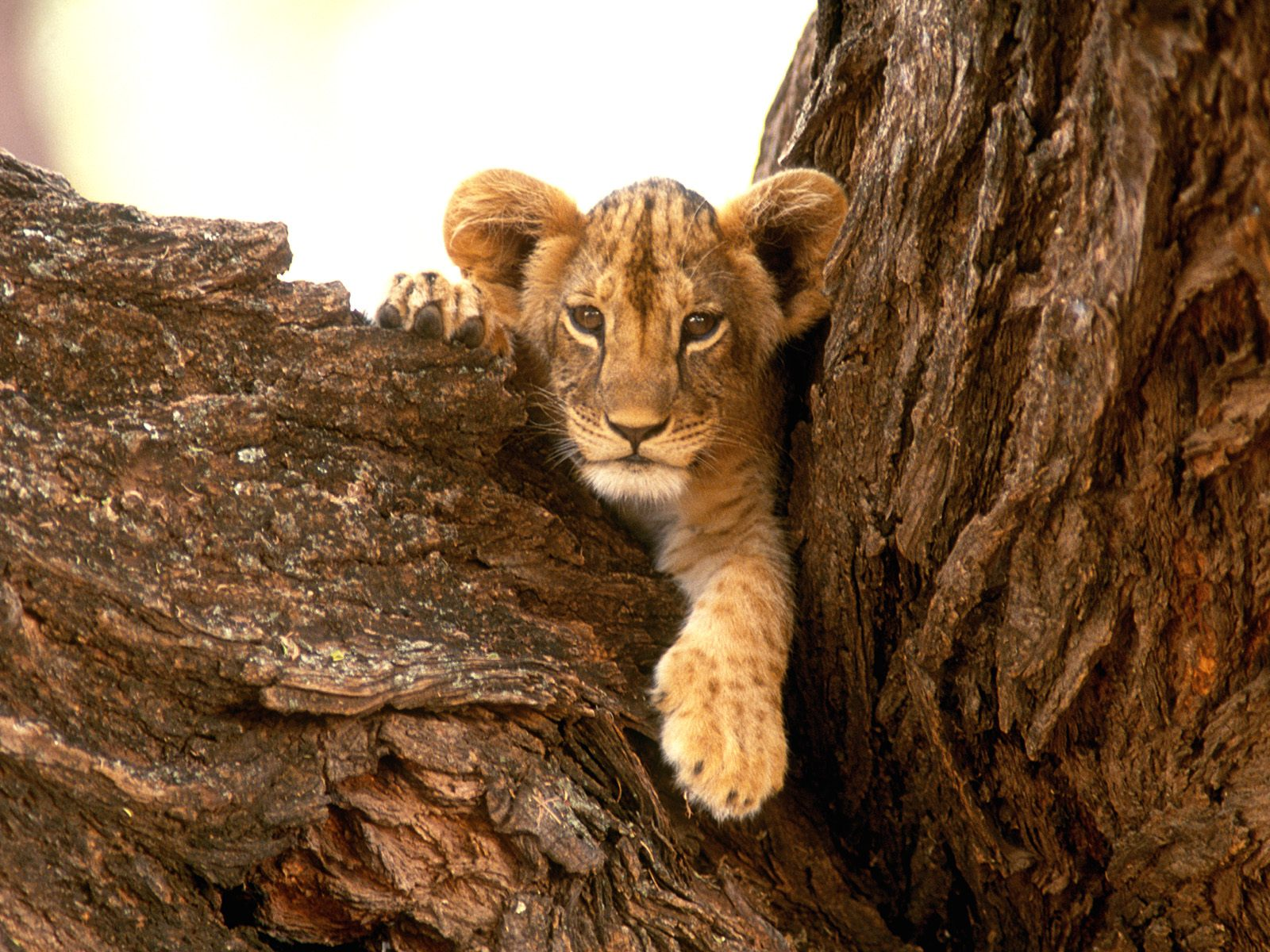 http://2.bp.blogspot.com/-U4zPfJryGRU/T-6SxxGU5FI/AAAAAAAACrg/BWYzw9CJ-Cg/s1600/Tiny++Lion+Wallpapers.jpg