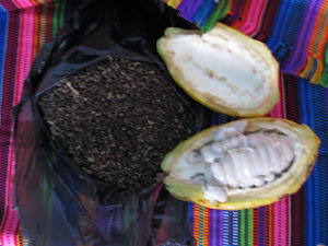Cocoa beans, before they are dried, have like a fruit around them that some people like to suck on.
