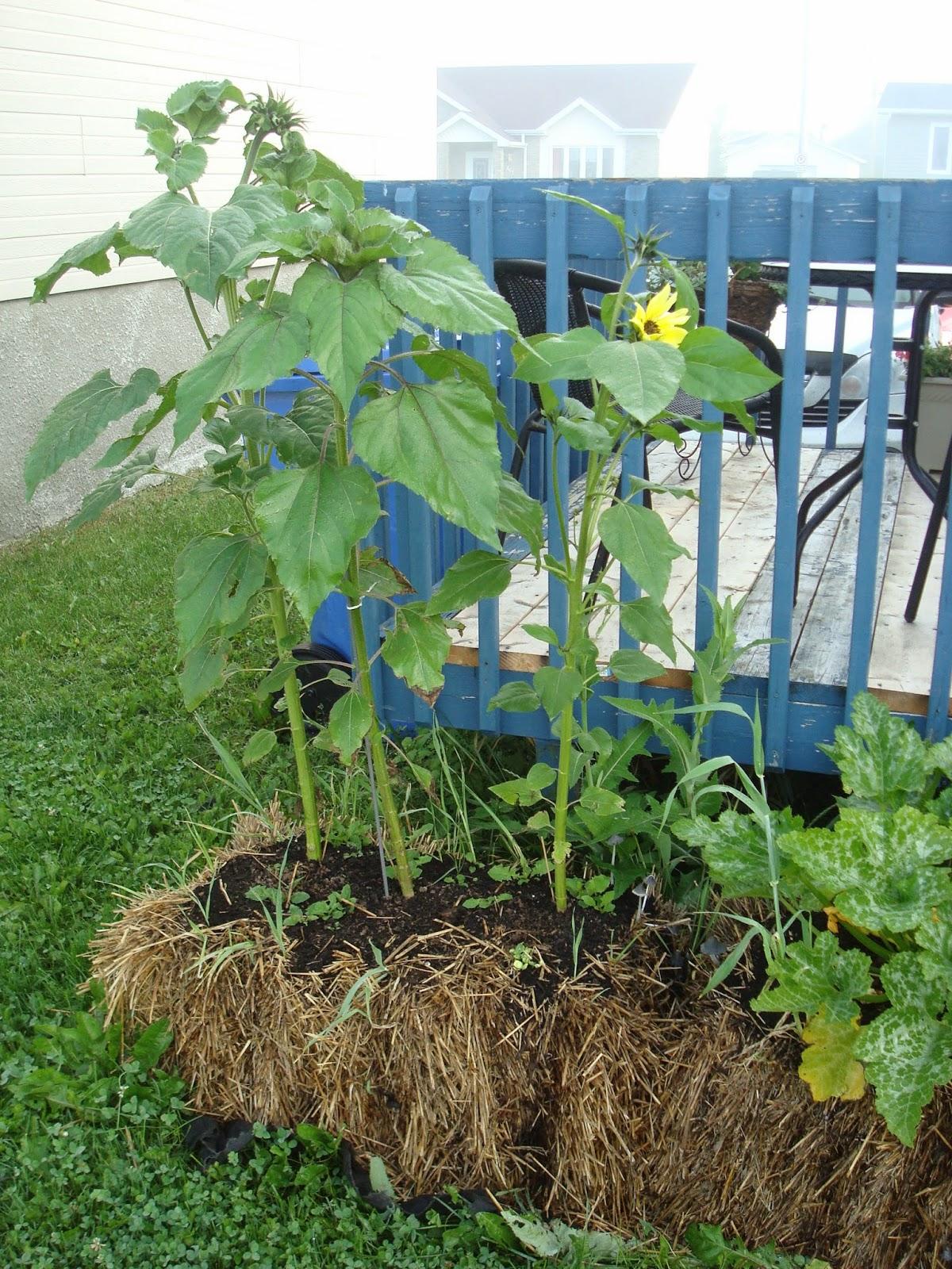 Les aiguilles au jardin jardinage sur botte de paille - Acheter de la paille pour jardin ...