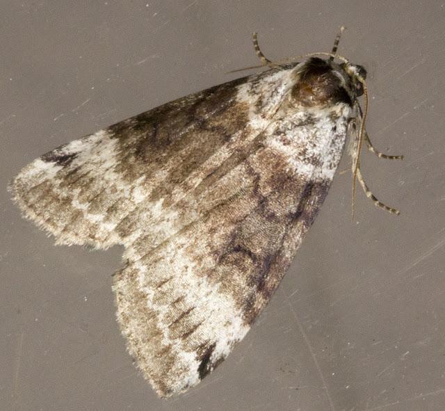 Satin Lutestring, Tetheella fluctuosa.  Keston Common moth trap, 2 July 2011.