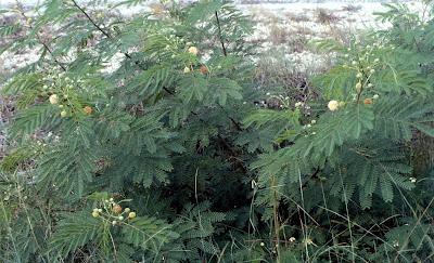 Leucena, Leucaena leucocephala