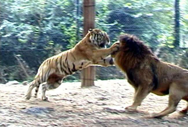 Don Morainho: Jika harimau dan singa bertarung, siapa yg menang?