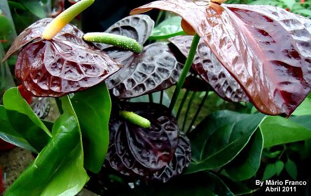 Meu cantinho verde ant rio negro anthurium andraeanum for Plantas de interior anturio