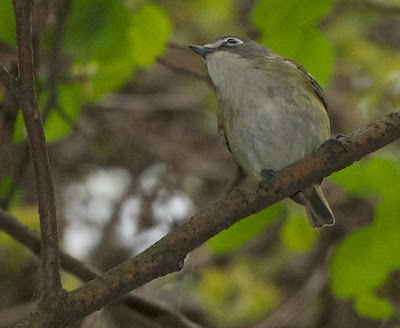 Blue-headed Vreo (Vireo solitarius)