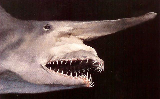 shark Ağzı Uzayan Köpekbalığı  ~ Goblin Shark