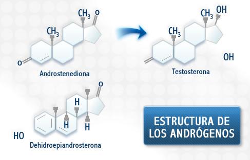 los esteroides son hormonas masculinas