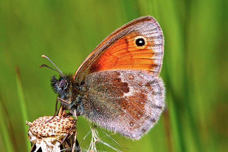 Fotos - Tiere - Tierfotos - Insekten - Schmetterlinge - Augenfalter - Kleines Wiesenvögelchen