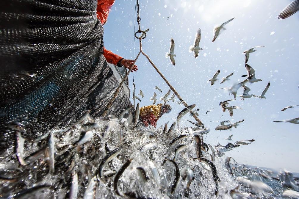fotografia de Abner Kingman con pescadores recogiendo red de cerco y gaviotas