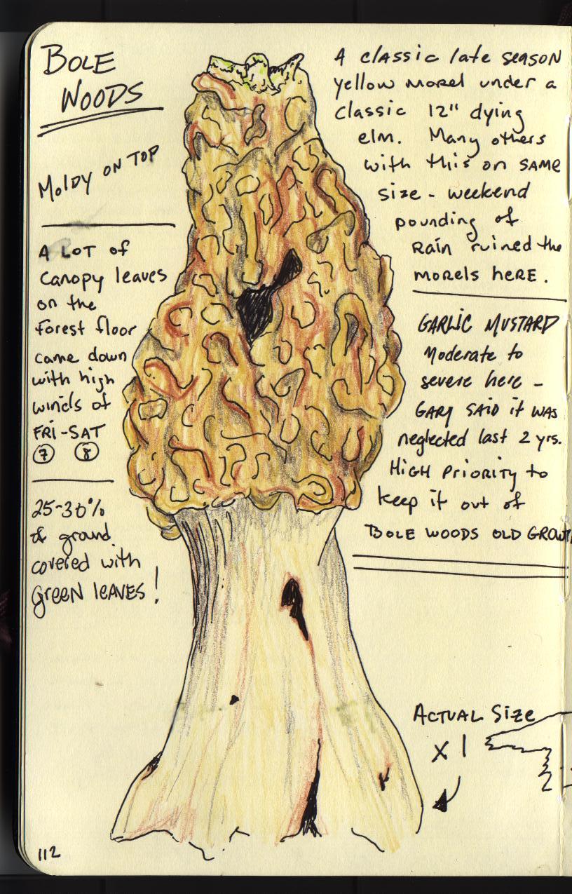 Bur Oak Botanicals: First Morel 2012