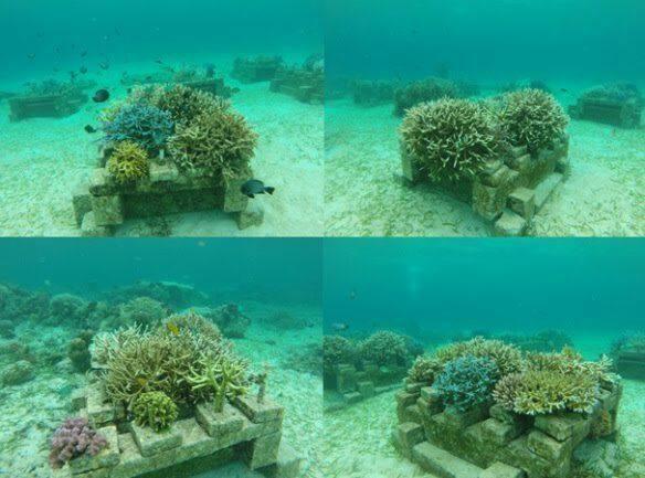 transplantasi karang kalsik