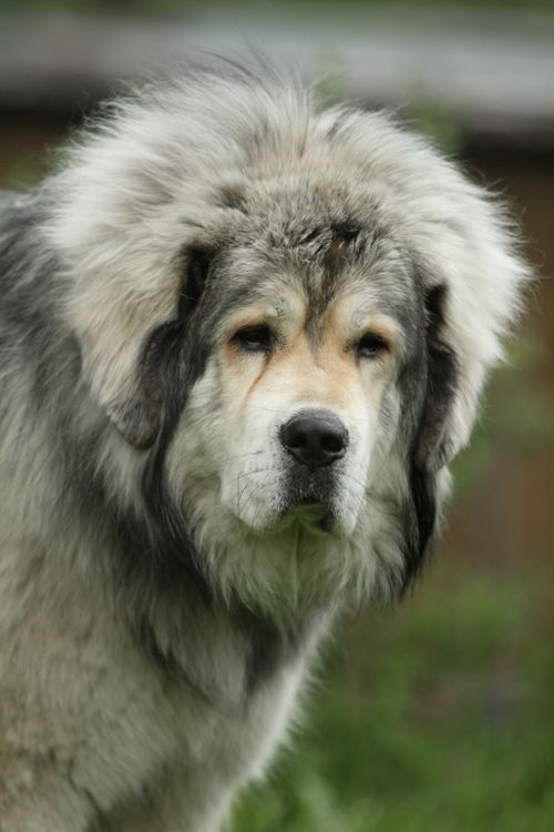 5 Most Fluffy Dog Breeds