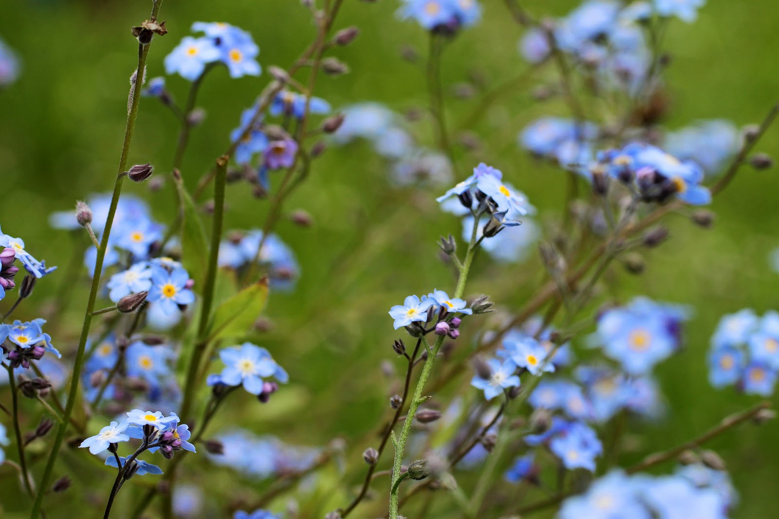 forgetmenot flower meaning  flower, Natural flower