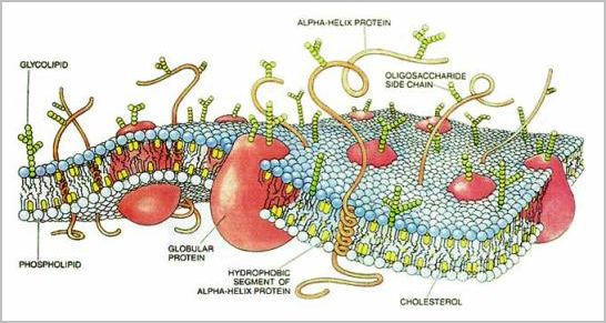 cell membrane diagram. plant cell membrane.