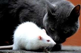 Rata blanca junto a un gato negro